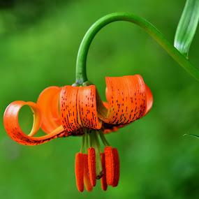Kranjska lilija by Bojan Kolman - Flowers Single Flower (  )
