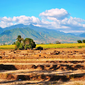 rice field by Greg Crisostomo - Landscapes Prairies, Meadows & Fields ( field, mountians, rice field, rice, harvest,  )
