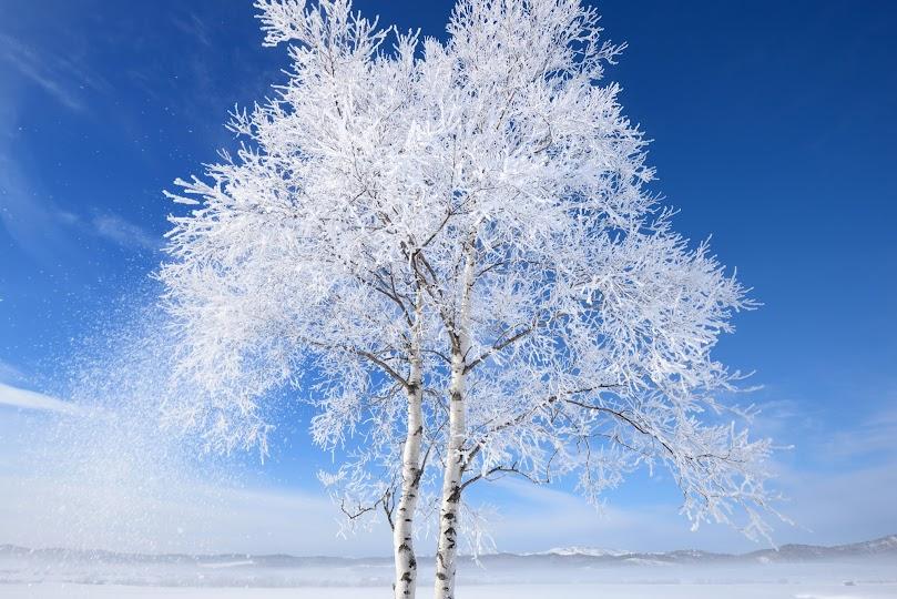 樹氷をまとう姉妹の木