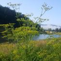 Yellow Meadow Parsnip