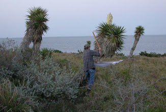Photo: Beating on Yuccas at sunset near the Laguna Madre