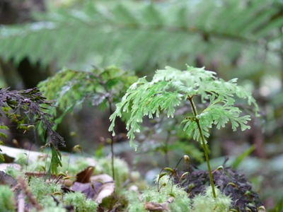 Delicate ferns in Whirinaki Forest