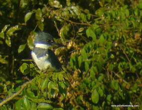 Photo: Belted Kingfisher; Rancho Primavera, outside Tuito, Jalisco