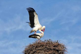 Photo: Cópula de cigüeñas blancas