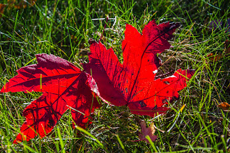 Photo: Day 285-Red Maple Leaves On Grass  The Fall colors were starting to reach their peak in Pittsburgh and these two fallen red maple leaves in the grass show the beauty that is Fall in the Northeast.  #allthingsred  +AllThingsRed +Stephen Thackeray +Lucille Galleli