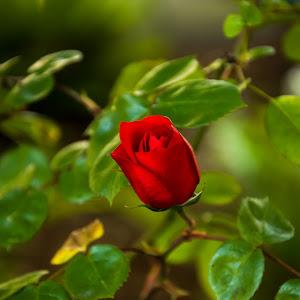 Rosebud 1 (1 of 1).jpg