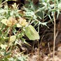 Common brimstone