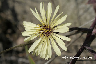Photo: Τραγοπώγων ο αμφίβολος (  Tragopogon dubius  ) Ανήκει στην οικογένεια των Συνθέτων (Compositae) και άλλες ονομασίες είναι Γένια του Λαγού, Σκούλος, Γένια του Τράγου. Υπάρχουν περίπου 40 είδη του στις Μεσογειακές χώρες.. Η κοινή του ονομασία είναι λαγόχορτο. Το φυτό μπορεί να το συναντήσει κανείς σε σκληρά ακαλλιέργητα μέρη, στα αγριώματα και στους αγρούς. Είναι ετήσια, διετή ή πολυετή φυτά, ύψους 30-120 εκ. και οι ρίζες τους είναι λευκές, σαρκώδεις και συνήθως διακλαδίζονται, σχηματίζοντας ριζώματα.  Τα φύλλα του είναι στενόμακρα, λογχοειδή με βαθιά αυλάκωση στο μέσο, ανοιχτοπράσινα. Το άνθος του αποτελείται από πολλά ανθίδια και βγαίνει σε μακριούς ανθοφόρους βλαστούς, σε κεφαλωτές ταξιανθίες, με συνήθως οκτώ πράσινα στενόμακρα βράκτια φύλλα.  Το φυτό έχει το χαρακτηριστικό ν' ανθίζει μόνο τις πρωινές ώρες. Το μεσημέρι κλείνουν τ' άνθη του. Οι καρποί του (αχαίνια), μήκους έως 4 εκ., έχουν ανάγλυφη επιφάνεια, καταλήγουν σε μακρύ ράμφος και φέρουν μια σειρά από μακριές τρίχες (πάππος).