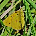 Western sulphur butterfly