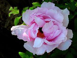 Photo: pink tree peony