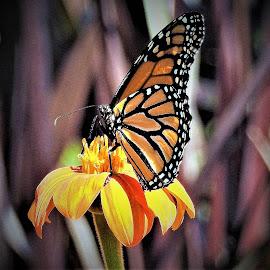 Monarch on flower by Mary Gallo - Digital Art Animals ( digital, nature up clsoe, digital photography, nature, monarch butterfly, digital art,  )