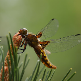 Vážka by Jarka Hk - Animals Insects & Spiders ( dragonfly, pretty, nature, insect )