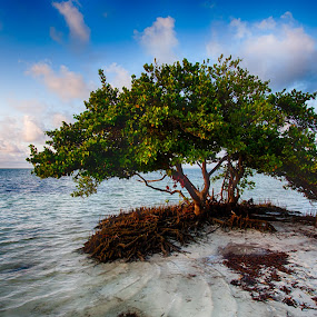 Mangrove Tree at Anne's Beach by Tim Azar - Landscapes Beaches ( shore, tim azar, tropical, anne's beach, florida keys, ocean, beach, landscape, salt water, mangrove, coast, tree, 2 exposures, florida, shoreline, tide, cloudy, anne eaton, water, clouds, islamorada, sand, maritime forest, hdr, keys, roots, nik dfine, lower matecumbe key, hdr efex pro 2, sunrise )