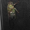 Walker's Cicada