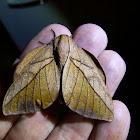 Oiticella convergens Moth
