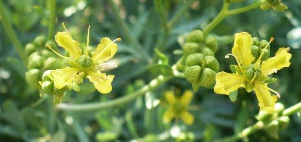 Kwiaty ruty Ruta graveolens flowers