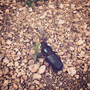 bess beetle, bess bug, patent leather beetle