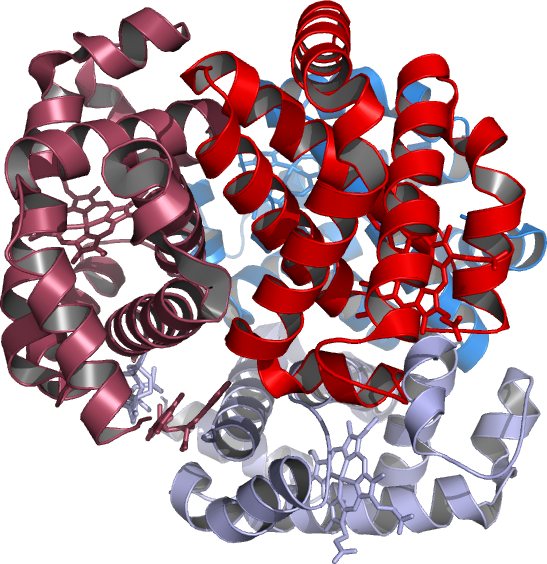 """Photo: (1) the """"hinge region"""" of the alpha 1 beta 2 interface PMID: 1567857 were partitioned into components of ( PDB:1J7Y_colored in reds is Hb-alpha ) SNP PDB:1IRD HBA1 and 2 structure rearrangement, the interface from the mutation site is site (B) about protein sequence 4L7Y-B alpha and D-beta: Results are for rs33930165 on Reference Sequence: NP_000509.1 [PMID: 22028795] attainment number P68871 verified by refinement of the a entire molecule was confined to residues at the central cavity close to the 2,3-DPG found in the NP_000509.1 hemoglobin (PDB: 4L7Y) subunit beta. 1J7Y_reds Hb-alpha,_Blues Hb-beta. With The effect of mutagenesis on O(2), CO, and NO binding to mutants 1J7Y HBB.H116R_D test Disease Gene: HBB protein/NP_000509.1 structure arrangement. The alpha (HBA) and beta (HBB) loci determine the structure resolution analysis reported here implies... the structure of genes is coincidental of site mutants that are turned on and off ( H3 acetylation-(H4/R3* in the R state having T/R** low and high O(2)-affinities)-K4 demethylation) the mechanism is more complex as development proceeds) e.g. not present in the final mature HBB gene product."""