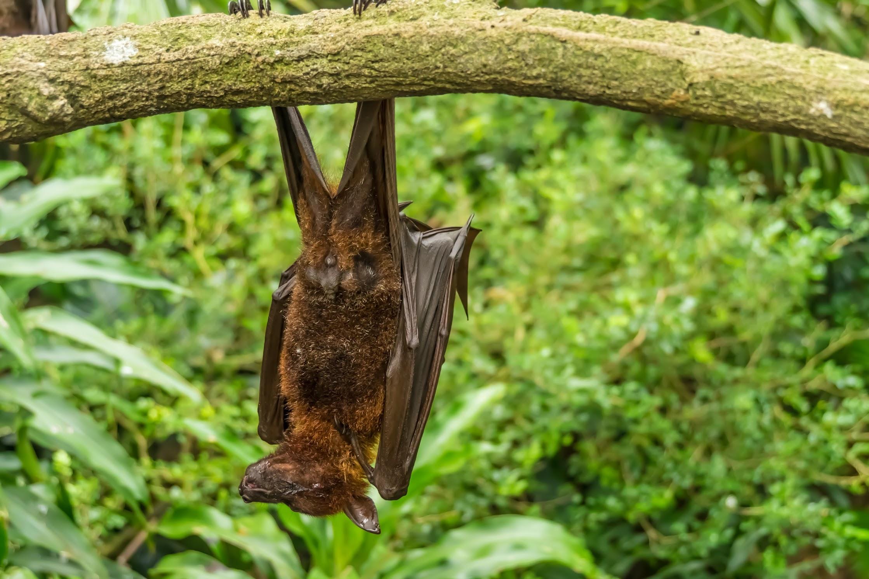 シンガポール動物園 オオコウモリ1