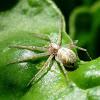 Philodromid crab spider