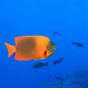 Clarion Angelfish