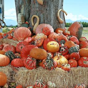 ripe pumpkins by Randall Langenhoven - Food & Drink Fruits & Vegetables ( sizes, orange, food, vegetables, farming, produce, shapes )