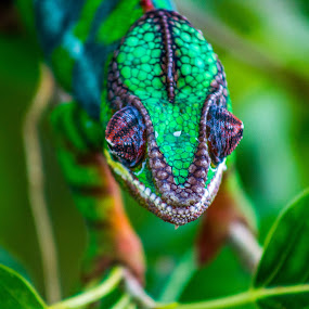 Chameleon by Ebtesam Elias - Animals Other ( dubai )