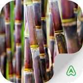 Sugarcane Pests