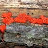 Red Jelly-Spot Fungus