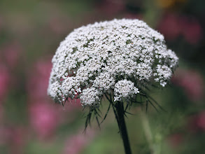 Photo: Queen Anne's Lace, White Bloom