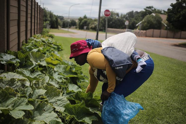 Yumba Ndlovu picks veggies from the front garden of Johan Scott in Heidelberg, Gauteng on February 26 2018.