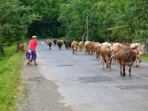 Photo: Běžně jsme potkávali stáda krav jdoucí na pastvu po cestě