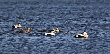 Photo: Bird N°22 - Eider Duck ♂. . Latin - Somateria mollissima