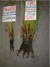 Photo: Roots are more vigorous using SRI methods, 2010 [Photo provided by  Khidir A. Hammed]