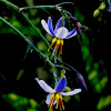 Cerulean Flax Lily