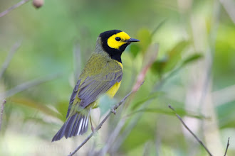 Photo: Hooded Warbler - LaffIte's Cove Spring 2013