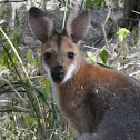 Whiptail Wallaby
