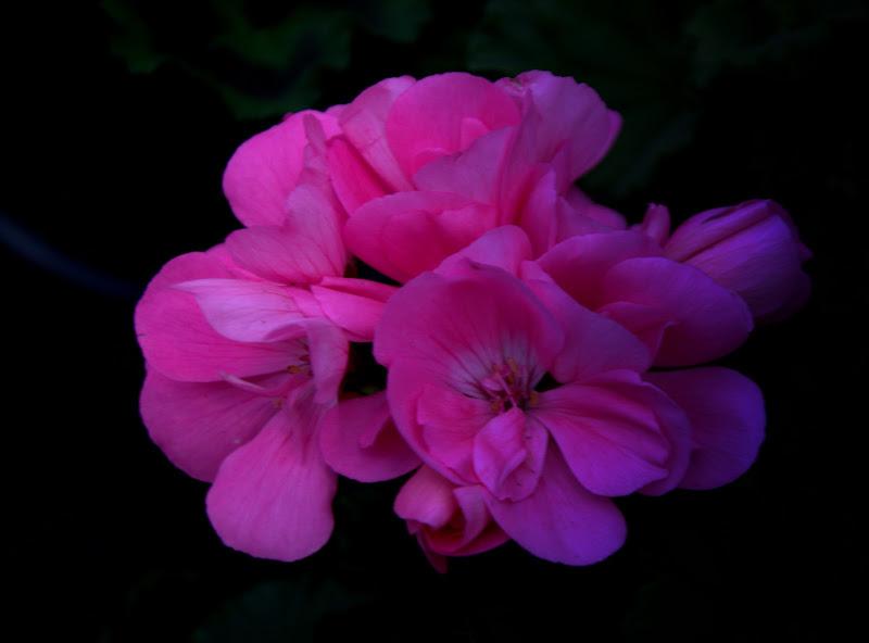 e si son rosa.. di fabryfoto