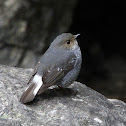 Plumbeous Water Redstart Female