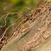 Phoenicurus auroreus 北紅尾鴝