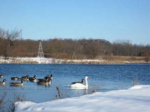 Photo: Swan swimming with Canadian Geese in a lake at Carriage Hill Metropark in Dayton, Ohio.