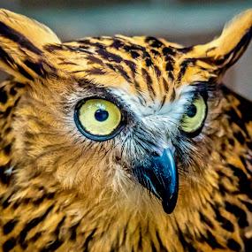 Hoot Hoot by Ken Nicol - Animals Birds (  )