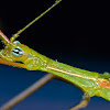 Stick Insect, Phasmid, Phasmatodea - Male