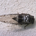 Dusk Calling Cicada