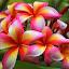 by Ariniwinda Hapsari - Flowers Flower Gardens ( #frangipani #plumeria #nature #flowers #exotic #tropical )