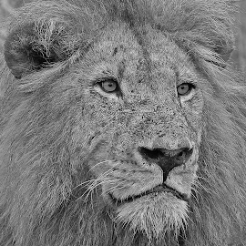 The king in Black and White! by Anthony Goldman - Black & White Animals ( nature, south africa., londolozi, big cat, lion, male, b & w .wild, wildlife )