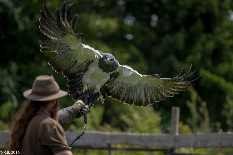 Falke landet auf dem Arm eines Falkners