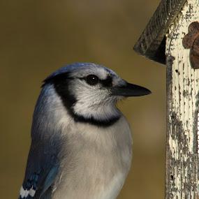 Blue jay by Francois Larocque - Animals Birds ( bird, blue, feed, blue jay, close up )