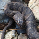 Midland Watersnake