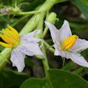 Solanum Nightshade